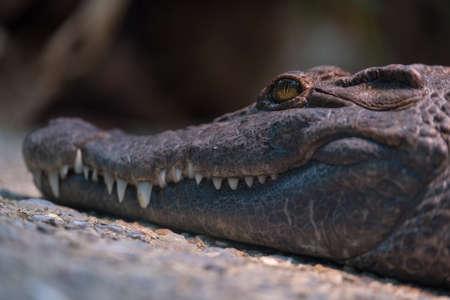 Close-up a crocodile head Stock Photo