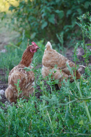 Chickens in the garden with green grass, brown chicken is walking in garden