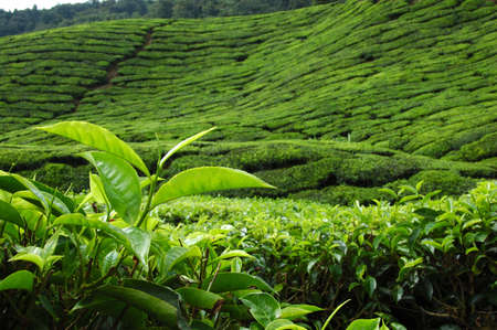 tea plantation: Tea Leaf with plantation in the BG (wider)