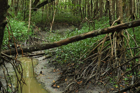 mangrove forest: River in Mangrove Forest