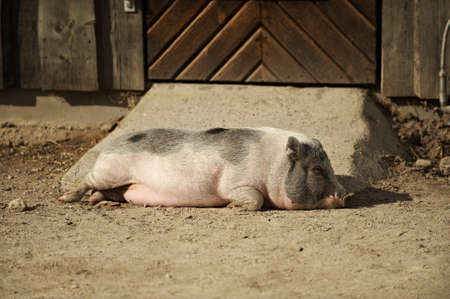 Pig sleeping  in the sunshine Stock Photo