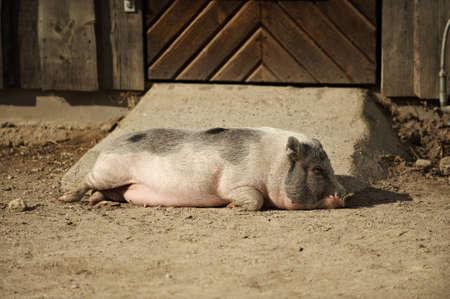 Pig sleeping  in the sunshine Stock Photo