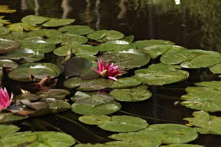 Waterlilies in calm dam