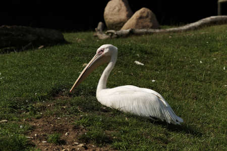 Pelican resting on green grass Stock Photo