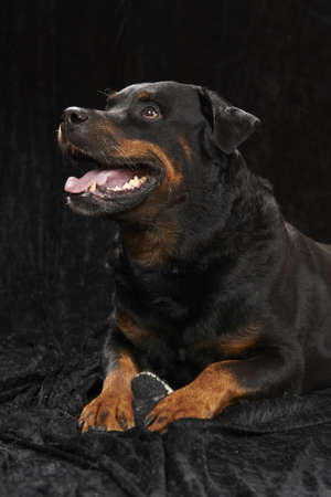 pure bred: Pure bred rottweiler - on black background