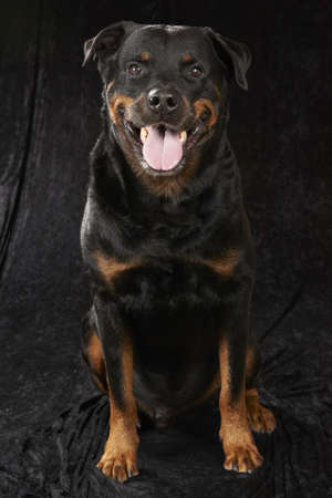 bred: Pure bred rottweiler - on black background