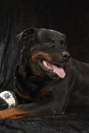 Pure bred rottweiler - on black background
