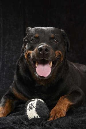 犬歯: 純粋な繁殖させたロットワイラー - 黒の背景に