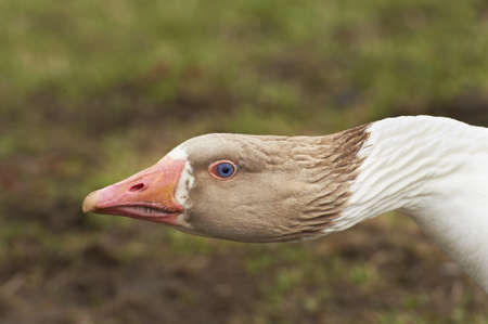 Adult goose with a defensive attitude Stock Photo