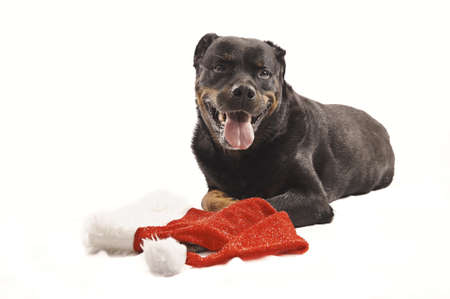 Pure bred rottweiler with christmas outfit isolated on white Stock Photo - 16417107