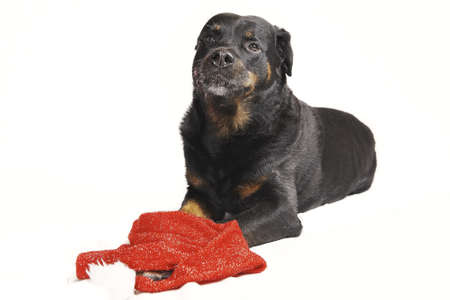 Pure bred rottweiler with christmas outfit isolated on white Stock Photo - 16417137