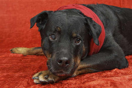 pure bred: Pure bred rottweiler with christmas outfit on red background