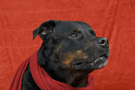 Pure bred rottweiler with christmas outfit on red background Stock Photo - 16417146
