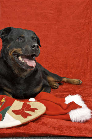 Pure bred rottweiler with christmas outfit on red background Stock Photo - 16417110