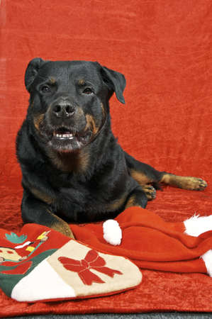 Pure bred rottweiler with christmas outfit on red background Stock Photo - 16417145