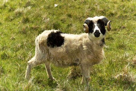 terrestrial mammals: Adult ram sheep in a grass field Stock Photo