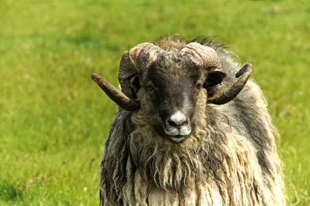terrestrial mammal: Adult ram sheep in a grass field Stock Photo