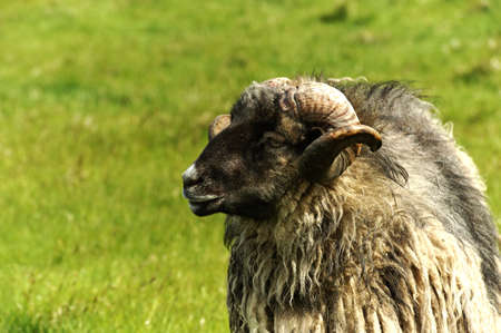 Adult ram sheep in a grass field photo
