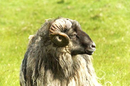 ram sheep: Adult ram sheep in a grass field Stock Photo