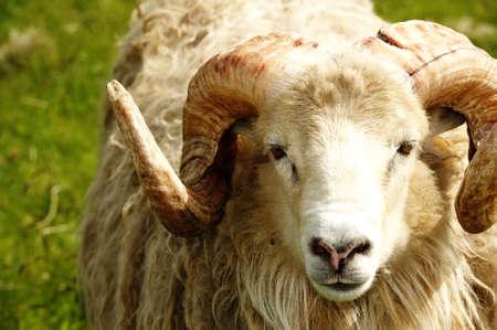 Adult ram sheep in a grass field Standard-Bild