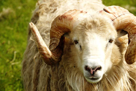 Adult ram sheep in a grass field Stock Photo