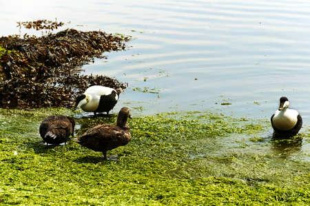 Eider ducks on a green shore