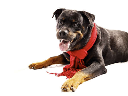 Pure bred rottweiler with red christmas scarf isolated on white Standard-Bild