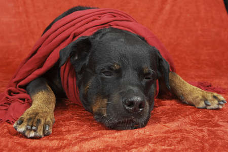 Purebred rottweiler with christmas outfit on red background
