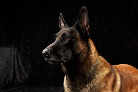 perro policia: Malinois raza pura sobre fondo negro