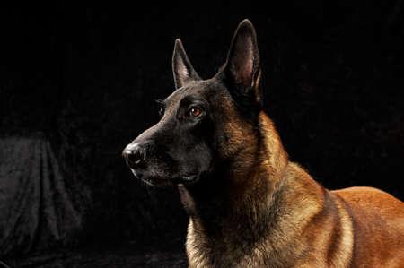 kampfhund: Reine Rasse Malinois auf schwarzem Hintergrund