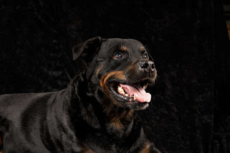 Pure breed rottweiler on black background Stock Photo