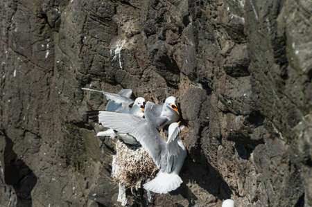 Kittywake - Rissa tridactyla - in Mykines in the Faroe Islands Stock Photo