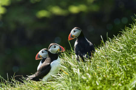 Puffin - Fratercula artica - in Mykines in the Faroe Islands photo