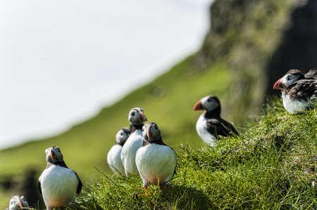Puffin - Fratercula artica - in Mykines in the Faroe Islands