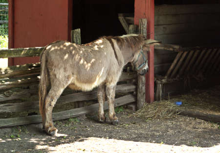 Donkey in fenced red barn with hay on agricultural rural farm photo