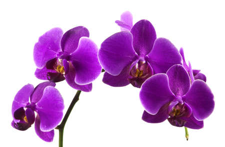 Beautiful stem of vibrant purple colored orchid flowers isolated on white background