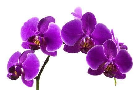 orchidee: Bella gambo di vivaci fiori colorati viola orchidea isolato su sfondo bianco