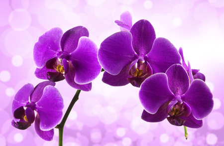 Beautiful stem of vibrant purple colored orchid flowers isolated on blur background.