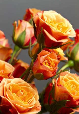 rosas naranjas: Hermoso ramo de suaves rosas de color naranja y amarillo contra el fondo gris.
