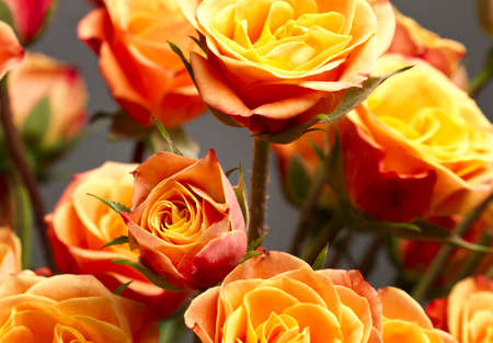 orange rose: Beautiful bouquet of soft orange and yellow colored roses against gray backdrop.