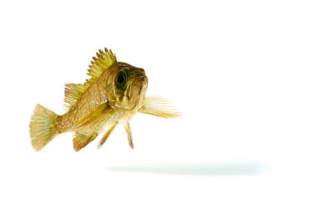 black rockfish photo