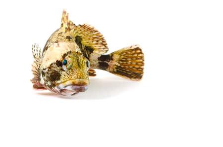 stingfish: scorpion fish Stock Photo