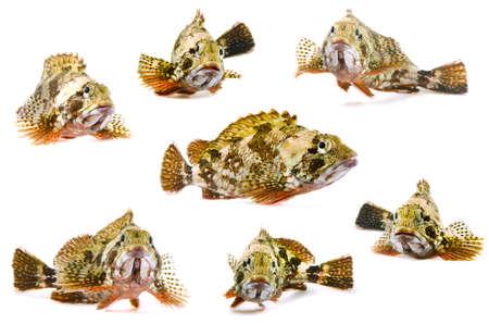 scorpion fish photo
