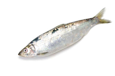 pacific herring photo