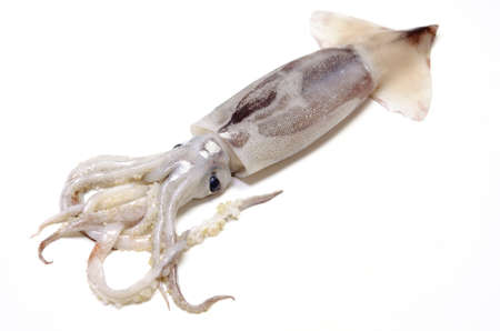 japanese common squid