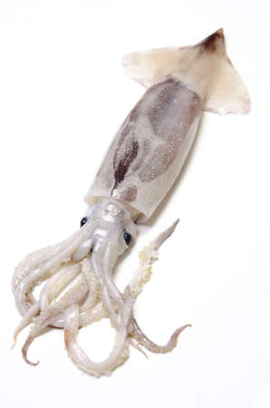 japanese common squid
