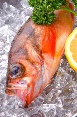 goldeye rockfish Stock Photo - 13279790