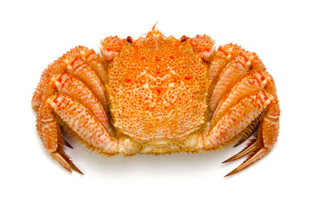 horsehair crab Stock Photo - 13279702