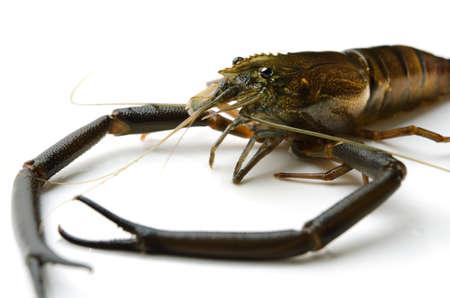 crustacea: freshwater prawn