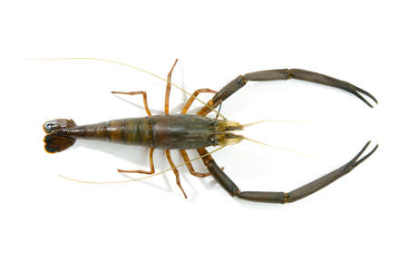 freshwater prawn photo